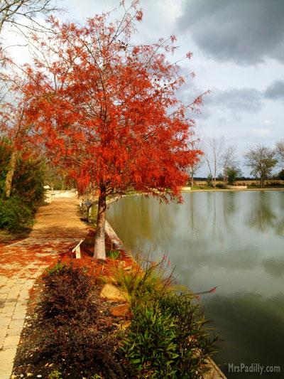 Bald Cypress Tree along lake in Montgomery Texas